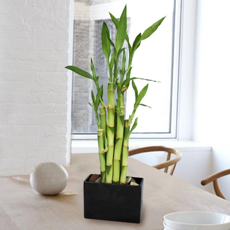 Bamboo lamp photo bamboo house plants for Bambou interieur