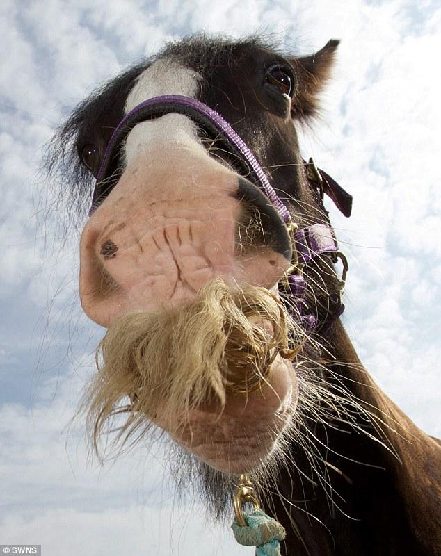 Kuda yang ada misai terpanjang