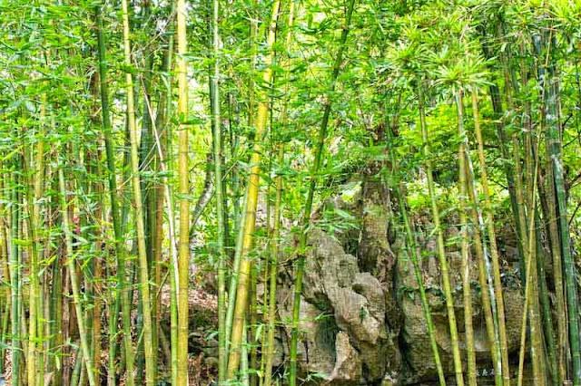 bamboo, rock garden