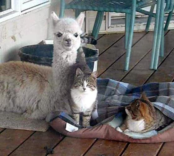 foto persahabatan seekor alpaca dan sepasang kucing 02