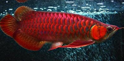 Makanan Ikan Arwana Serta Pemeliharaannya