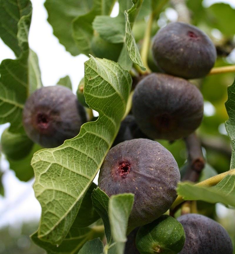 O figo é uma fruta rica em magnésio, ele ajuda a combater a gordura localizada...