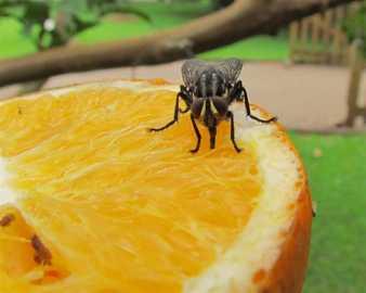 Mosca comiendo naranja