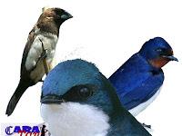 Jenis burung walet bagian 2
