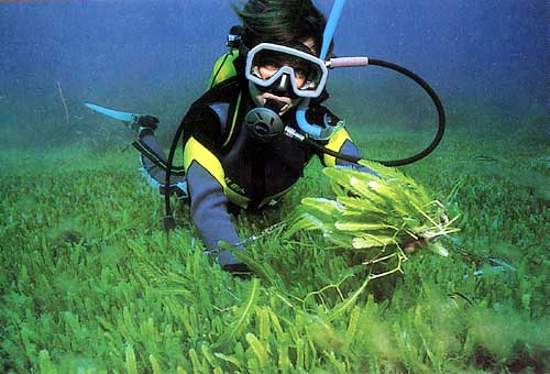 mediterranean algae thesis The presence of caulerpa in the east mediterranean israeli coast  some new records of marine algae from the mediterranean sea  thesis, department of .