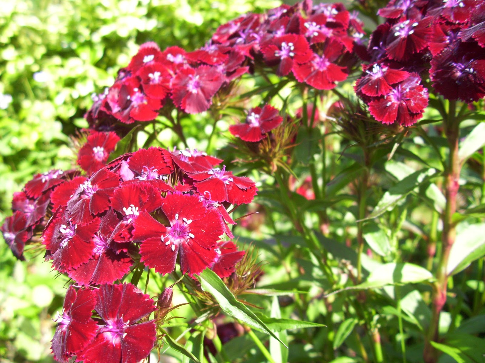 Random Seed Gardener: Plant of the week - Sweet William ...