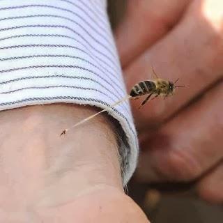 لمادا تموت النحلة بعد لسع الانسان ؟