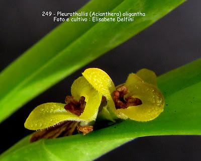 Acianthera oligantha do blogdabeteorquideas