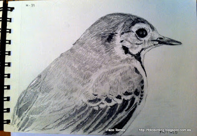Fotobirding en Sant Adri de Bess Dibujos a lpiz serie aves en