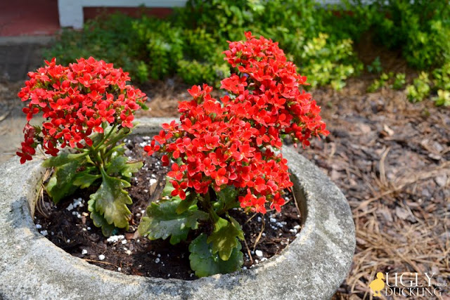 little red potted flowers in the front yard