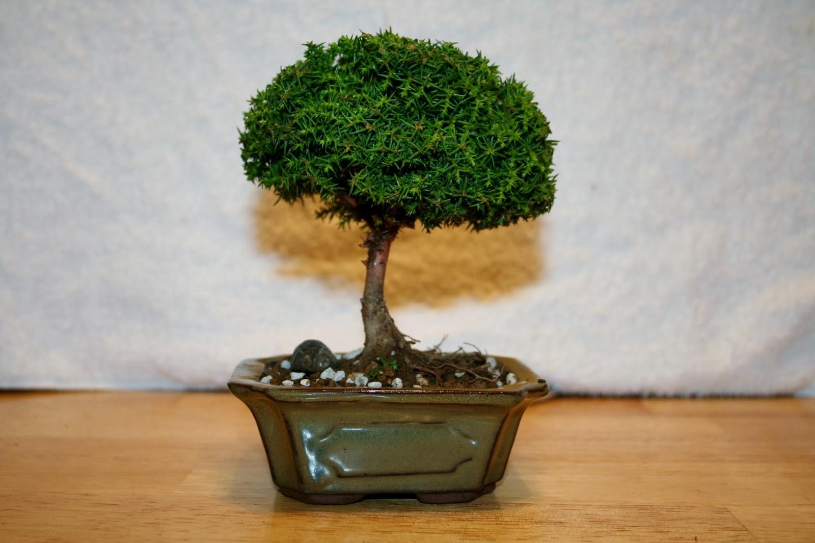 Yoji Bonsai Canada