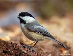 Yes the chickadee's song goes chick-a-dee-dee-dee. Any more questions?