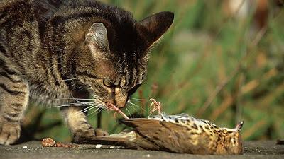 Domestic Cats Eat Their Kills