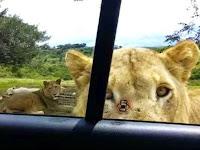 Mengerikan, Singa Buka Pintu Mobil Wisatawan dengan Giginya