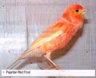pejantan burung kenari red frost