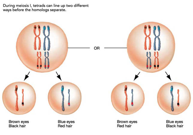 Sex of twins probability