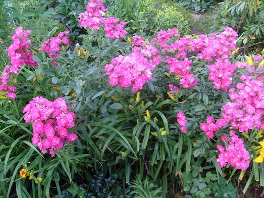 Ma plan te jardin robin hood un rosier facile vivre et - Deplacer un rosier ...