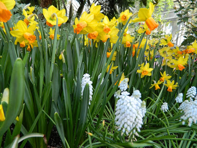 Yellow daffodils and pale blue grape hyacinths by Paul Jung Gardening Services in Toronto