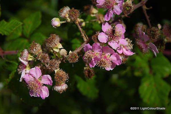 Blackberry (Rubus fruticosus) flowers
