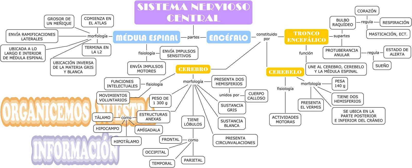 Magnífico Mapa De Sistema Nervioso Galería - Anatomía de Las ...