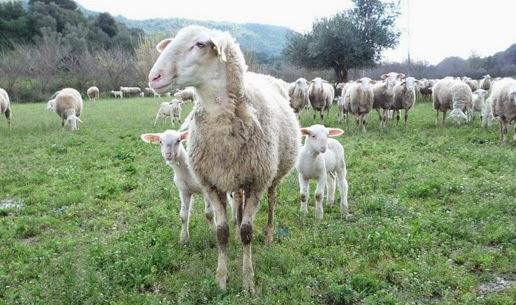 Πρόβατο Άρτας