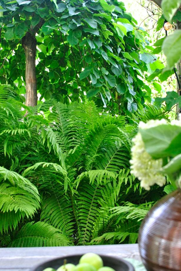 hannas hängalm strutbräken trädgård