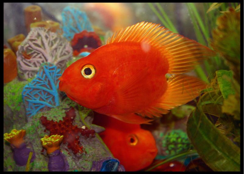 Pets blood parrot fish for Blood parrot fish