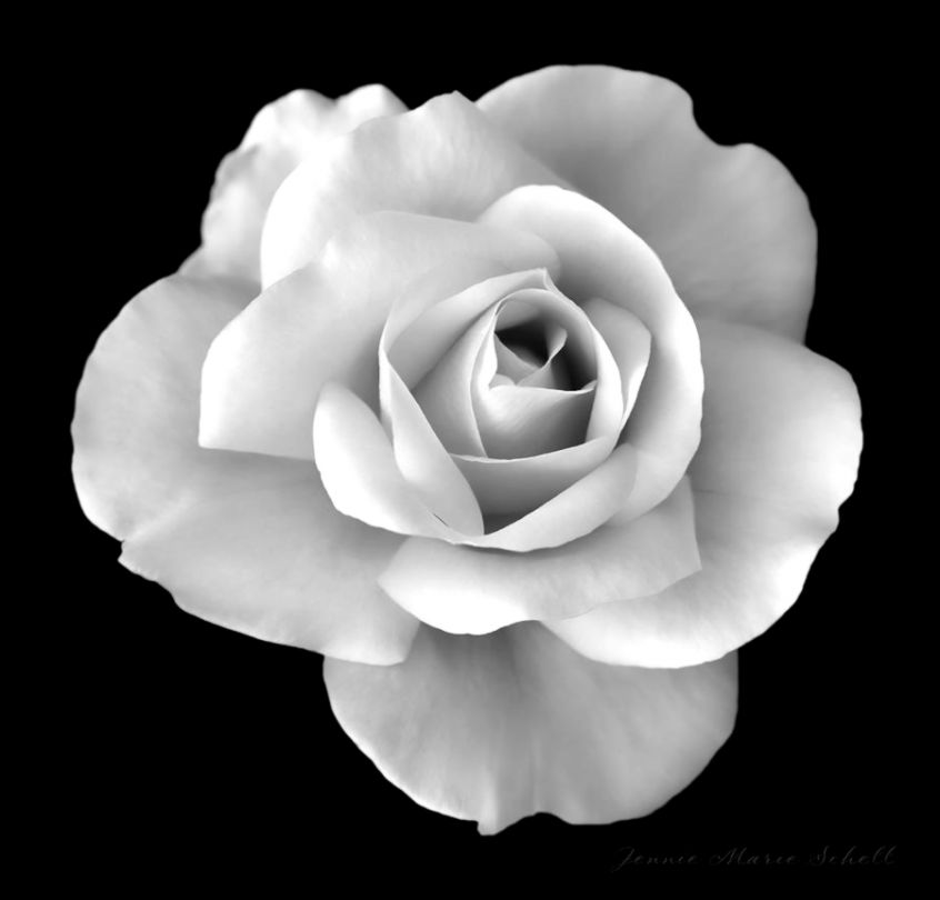 Black And White Rose Photography Images  Pictures   Becuo