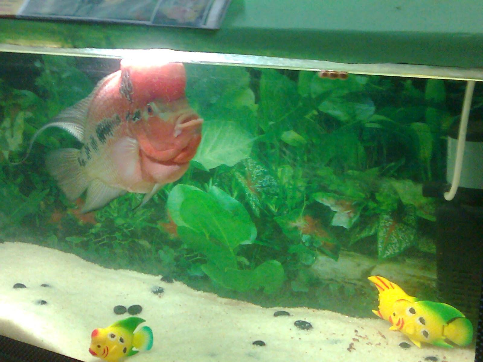 Flowerhorn fish Aquarium in Ahmedabad Exhibition. Fish Prize is 15,000 ...