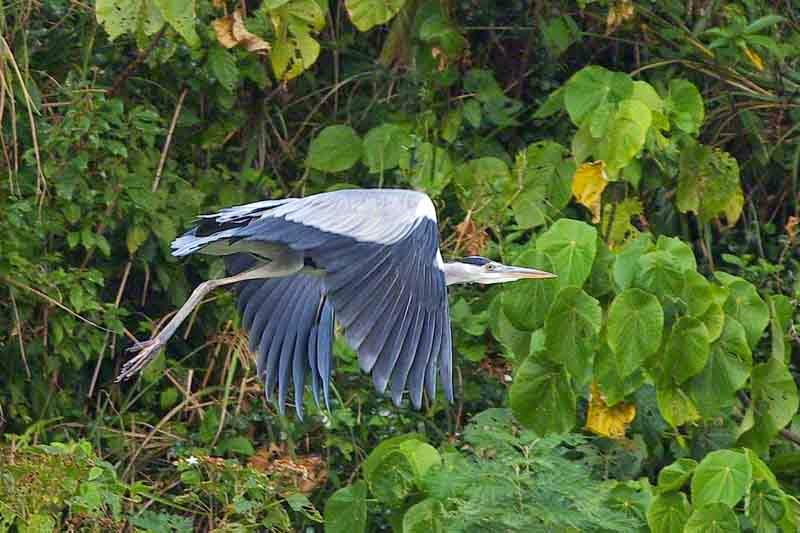 Grey Heron, wings down