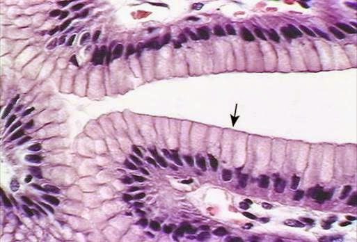 Figura 01. Epitelio monoestratificado.