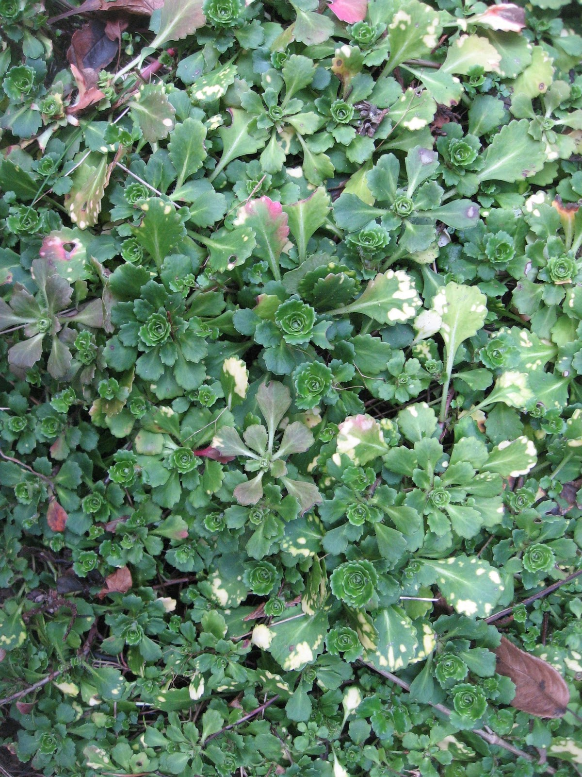 Weeding on the wild side enduring evergreen ground covers for The evergreen
