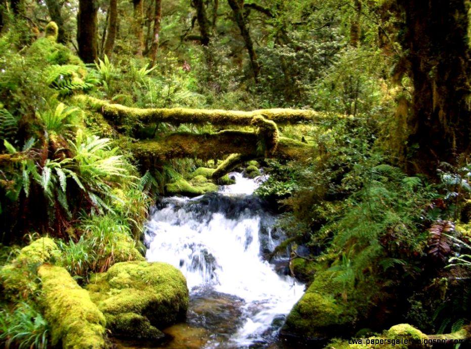 Fiordland Rainforest  New Zealand Tramper