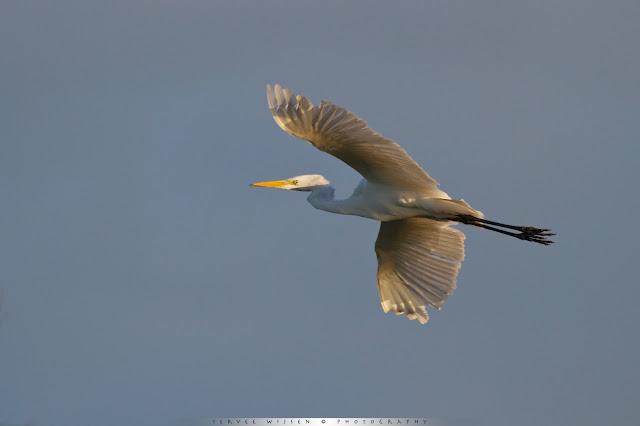 Great White Egret [Ardea alba], Grote Zilverreiger