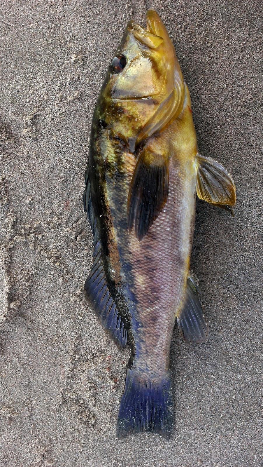 Burger 39 s fishing log surf fishing malibu 10 18 2013 with for Calico bass fishing