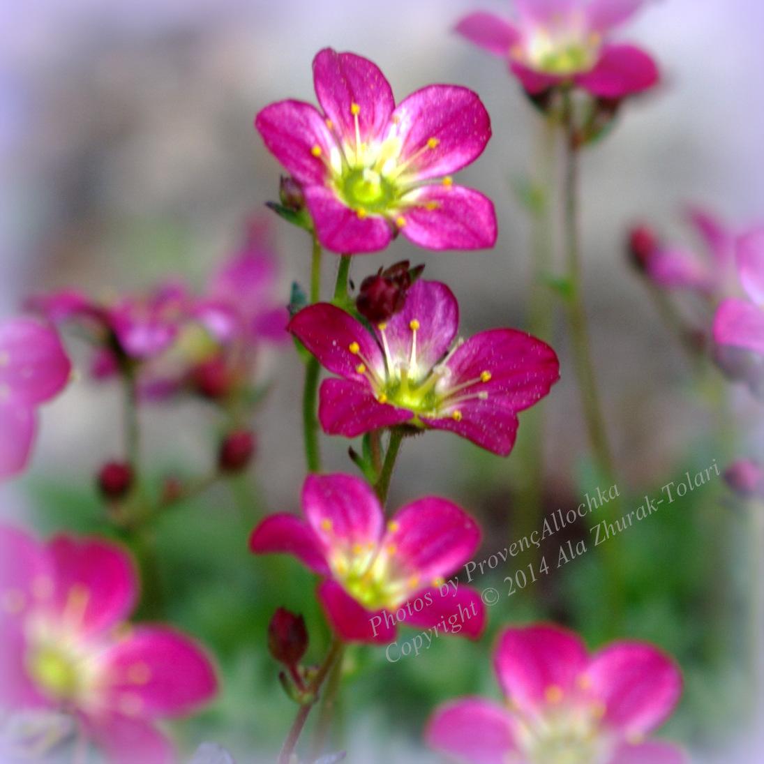 fleur,rouge,macro