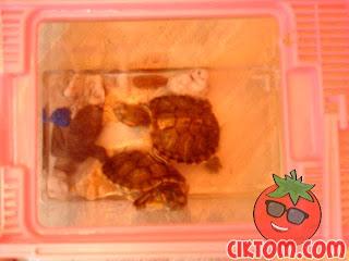 gambar kura-kura kecil yang aktif dan comel