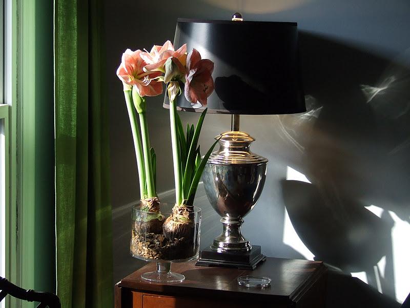 Saving paper whites and amaryllis for next year thinking for Bulbes amaryllis conservation