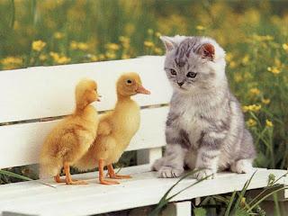 Можно жить дружно и уткам с котом