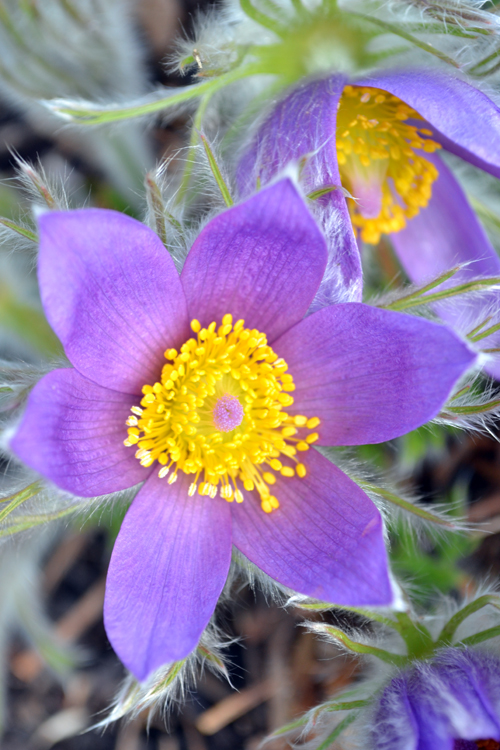 CabinGirl Pasqueflower