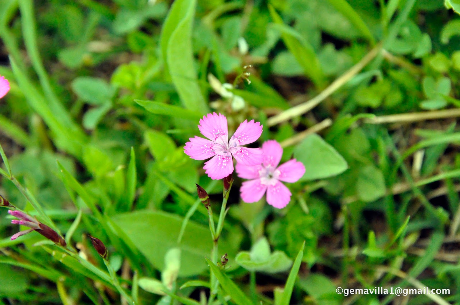 CLAVELLINA – Dianthus deltoides | Flores del Pirineo, valle de ...