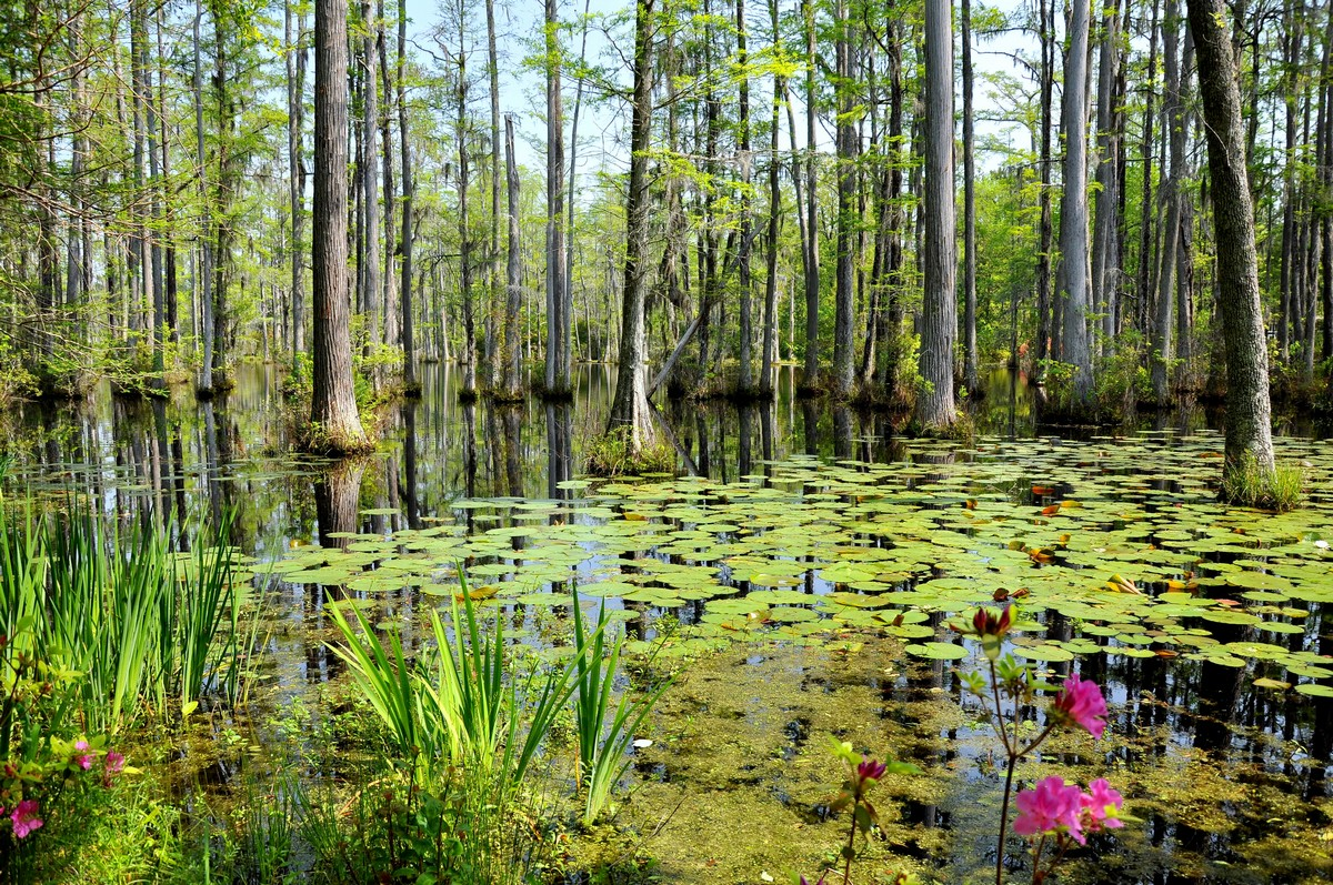 My view of charleston and the lowcountry water lilies for Cypress gardens mural