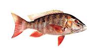 pargo pez