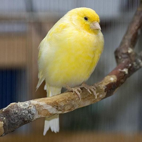 berbagi cerita berbagi cara merawat burung kenari