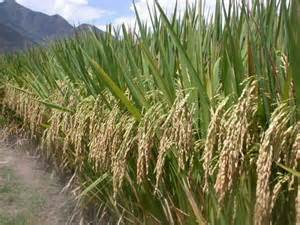 foto salah satu komoditas pertanian Asia tenggara