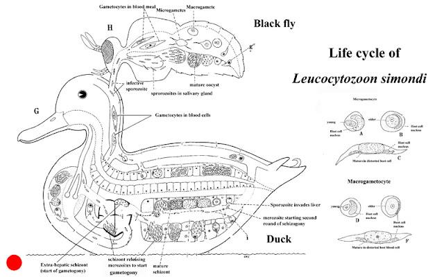 Vòng đời của Leucocytozoon smithi.