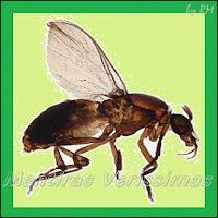 Mosquito Pólvora, Maruim, porvinha, polvinha