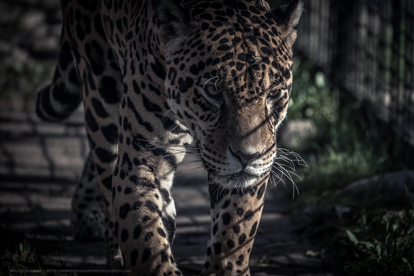 Jaguar in Warsaw zoo