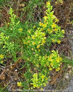 flores silvestres, Algoz, Algarve