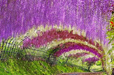 Wisteria Flower Tunnel Kawachi Fuji Garden